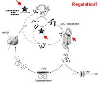 Role of the ubiquitin-proteasome system (UPS) in proteolysis and antigen presentation.