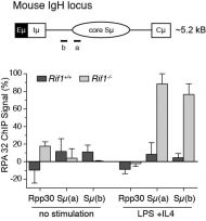 RIF1-deficiency in mice results in aberrant nucleolytic processing of DSBs during immunoglobulin class-switch recombination. Chromatin immunoprecipitation of the single stranded DNA binding protein RPA32 at Immunoglobulin heavy chain (IgH) and control (Rpp30) loci in stimulated primary B-cells.