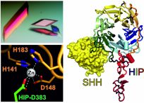 Crystal structure of Sonic hedgehog (SHH) bound to its receptor HIP (Bishop etal 2009).