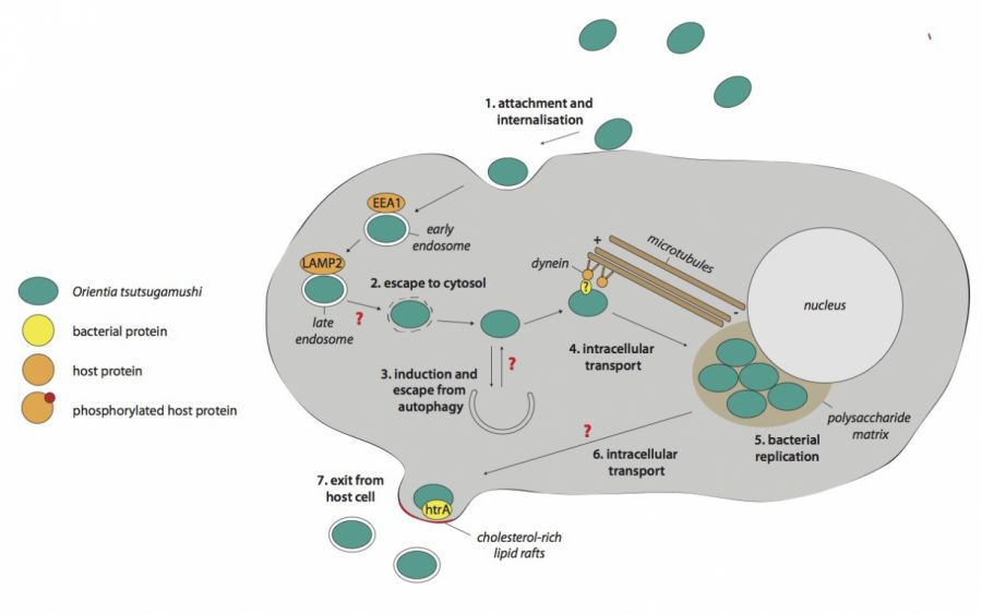 Dr jeanne salje nuffield department of medicine the intracellular life cycle of orientia tsutsugamushi modified from salje j plos pathogens 2017 ccuart Images