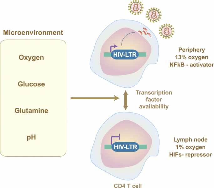 Understanding the impact of hypoxia on HIV replication and latency