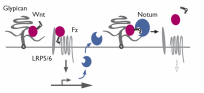 Notum deacylates Wnts to suppress signalling activity. (Kakugawa et al Nature 2015)