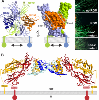 (A) Crystal structure of the Repulsive Guidance Molecule (RGM) in complex with its receptor Neogenin (NEO1) (Bell et al Science 2013). (B) Ternary RGM-NEO1-BMP complex, revealing that RGM bridges the NEO1 and BMP morphogen pathways (Healey 2015 Nature Struct Mol Biol).