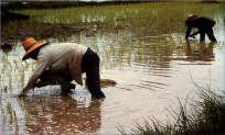 Rice farmers in Thailand - a group at risk of melioidosis