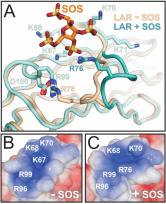 Conformational plasticity of type IIa receptor protein tyrosine phosphatases facilitates proteoglycan binding (Coles at al, 2011).