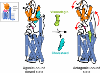 Crystal structures of the GPCR and Hh signal transducer Smoothened bound to the agonist cholesterol and the anti-cancer drug vismodegib, respectively (Byrne et al Nature 2016, Luchetti ELife 2016).